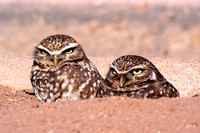 Burrowing Owls, FA